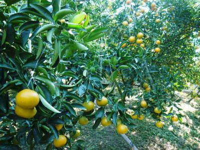 究極の柑橘『せとか』 令和2年の出荷スタート!収穫の様子を現地取材!(前編)_a0254656_18534455.jpg