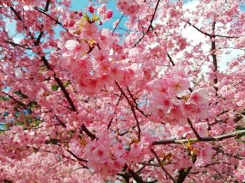 河津桜_a0061057_21502658.jpg