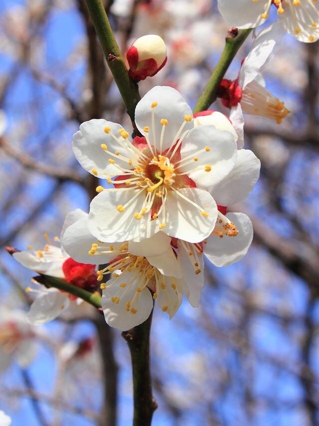 梅の花_b0328361_22504197.jpg