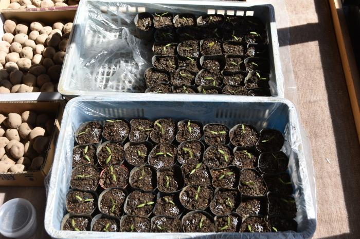 トマトの苗などをポットへ移す。_f0189218_15420123.jpg