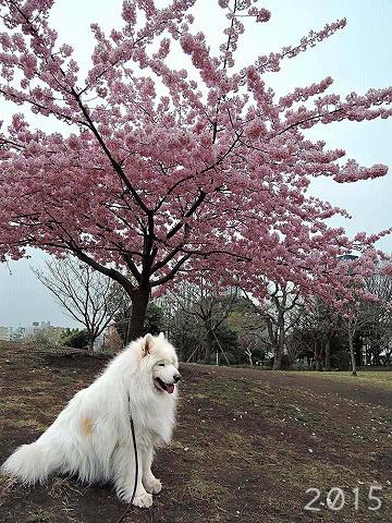 河津桜_c0062832_15281156.jpg