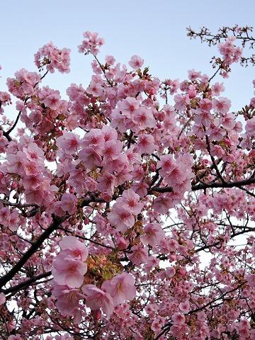 河津桜_c0062832_15282400.jpg