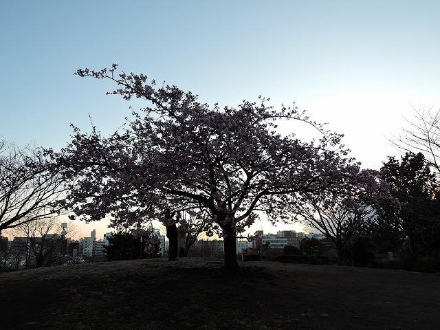 河津桜_c0062832_15282417.jpg