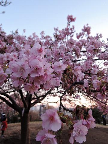 河津桜_c0062832_15282436.jpg