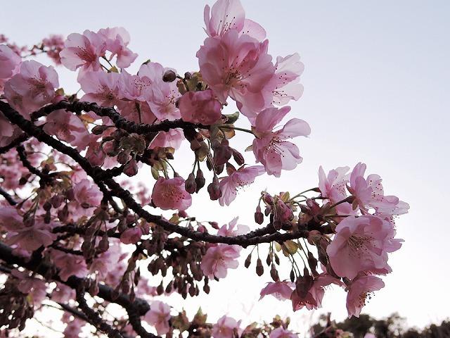 河津桜_c0062832_15282439.jpg
