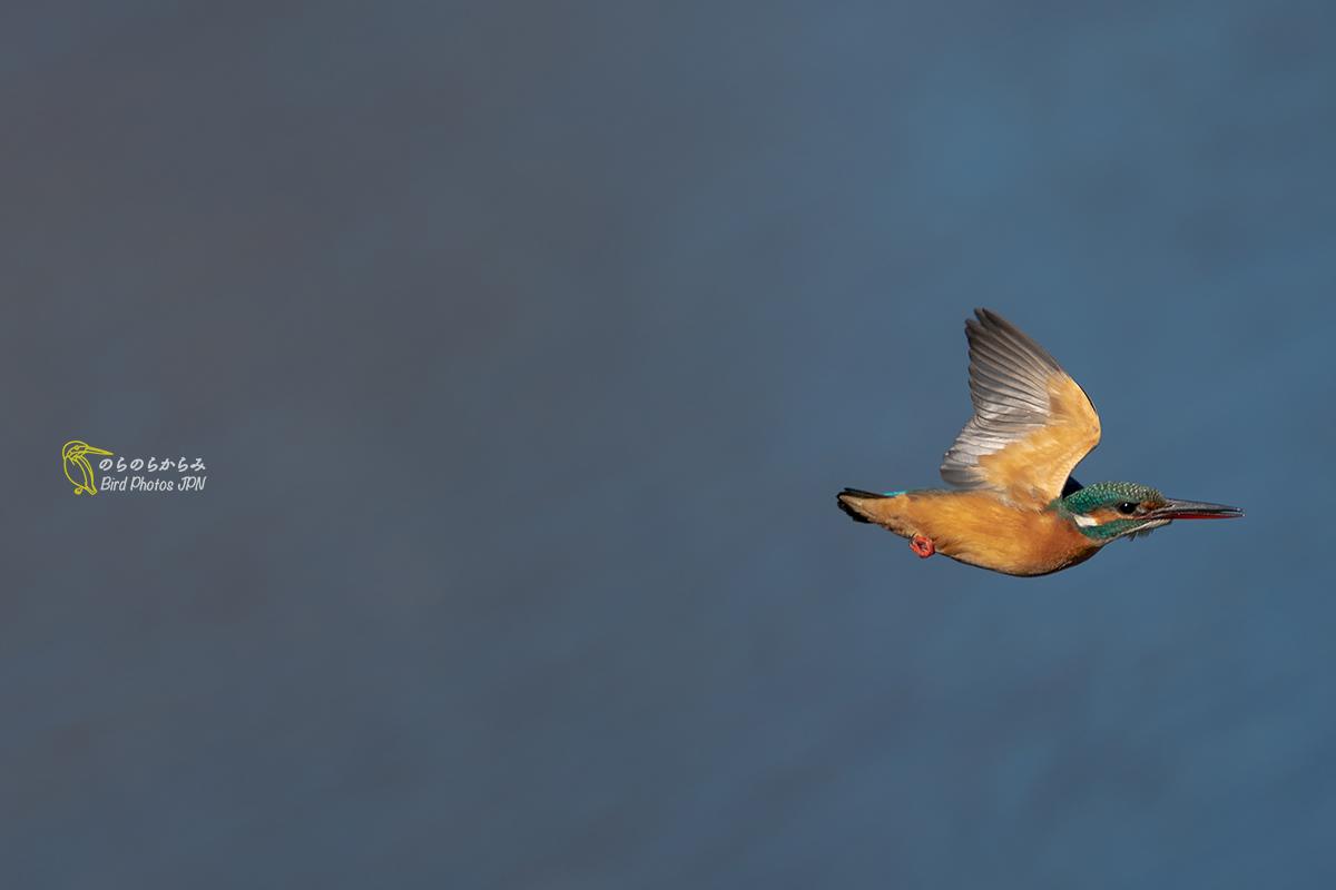 カワセミさん、かっ飛ぶ・潜る_d0360547_17361426.jpg