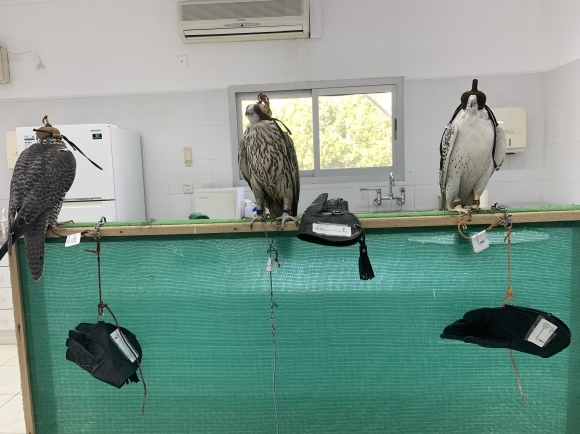 Dubai Falcon Hospital 獣医研修2日目 -ドバイのハヤブサ専門病院_c0132048_01183556.jpeg