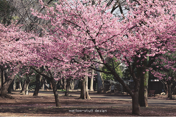 河津桜_d0124248_22082061.jpg
