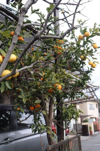 Citrus tree of magic_d0346950_04161541.jpg