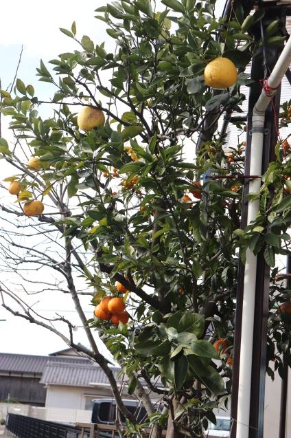 Citrus tree of magic_d0346950_04163967.jpg