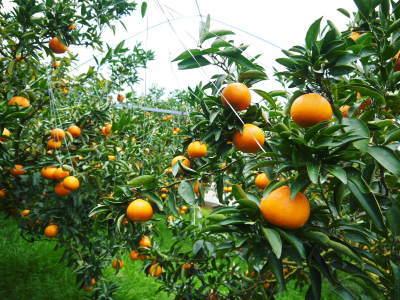 究極の柑橘『せとか』 令和2年の出荷スタート!収穫の様子を現地取材!(後編)_a0254656_18194065.jpg