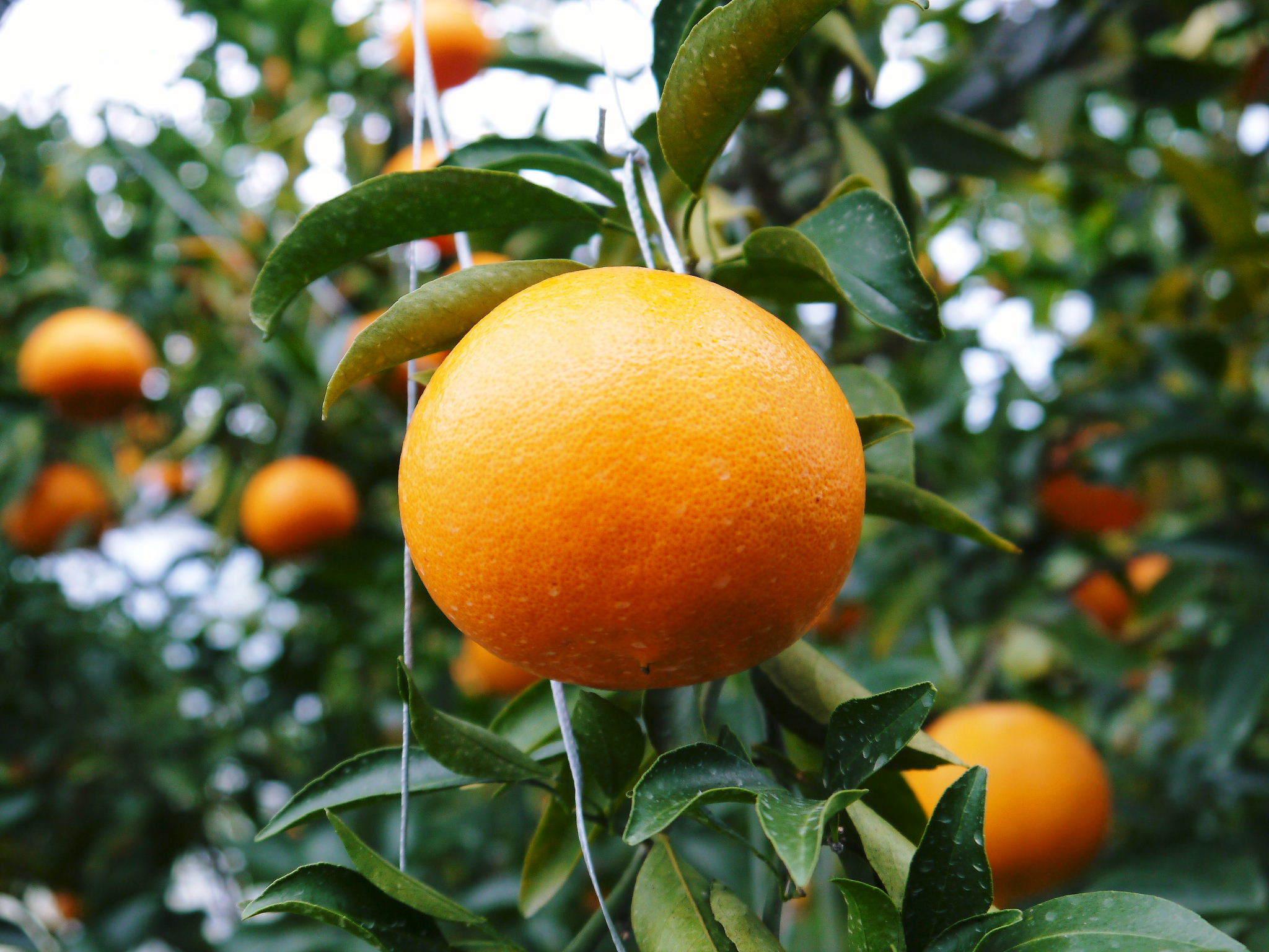 究極の柑橘『せとか』 令和2年の出荷スタート!収穫の様子を現地取材!(後編)_a0254656_18212929.jpg