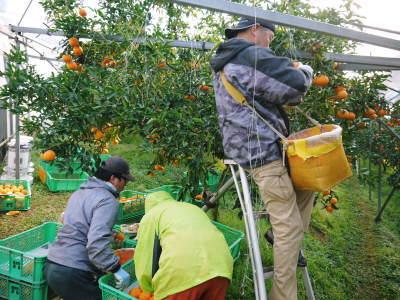 究極の柑橘『せとか』 令和2年の出荷スタート!収穫の様子を現地取材!(後編)_a0254656_18421379.jpg