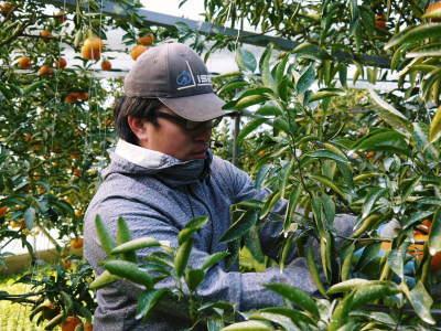 究極の柑橘『せとか』 令和2年の出荷スタート!収穫の様子を現地取材!(後編)_a0254656_18444116.jpg
