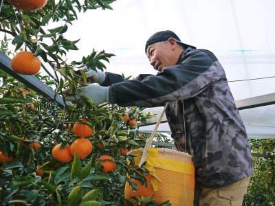 究極の柑橘『せとか』 令和2年の出荷スタート!収穫の様子を現地取材!(後編)_a0254656_18471080.jpg