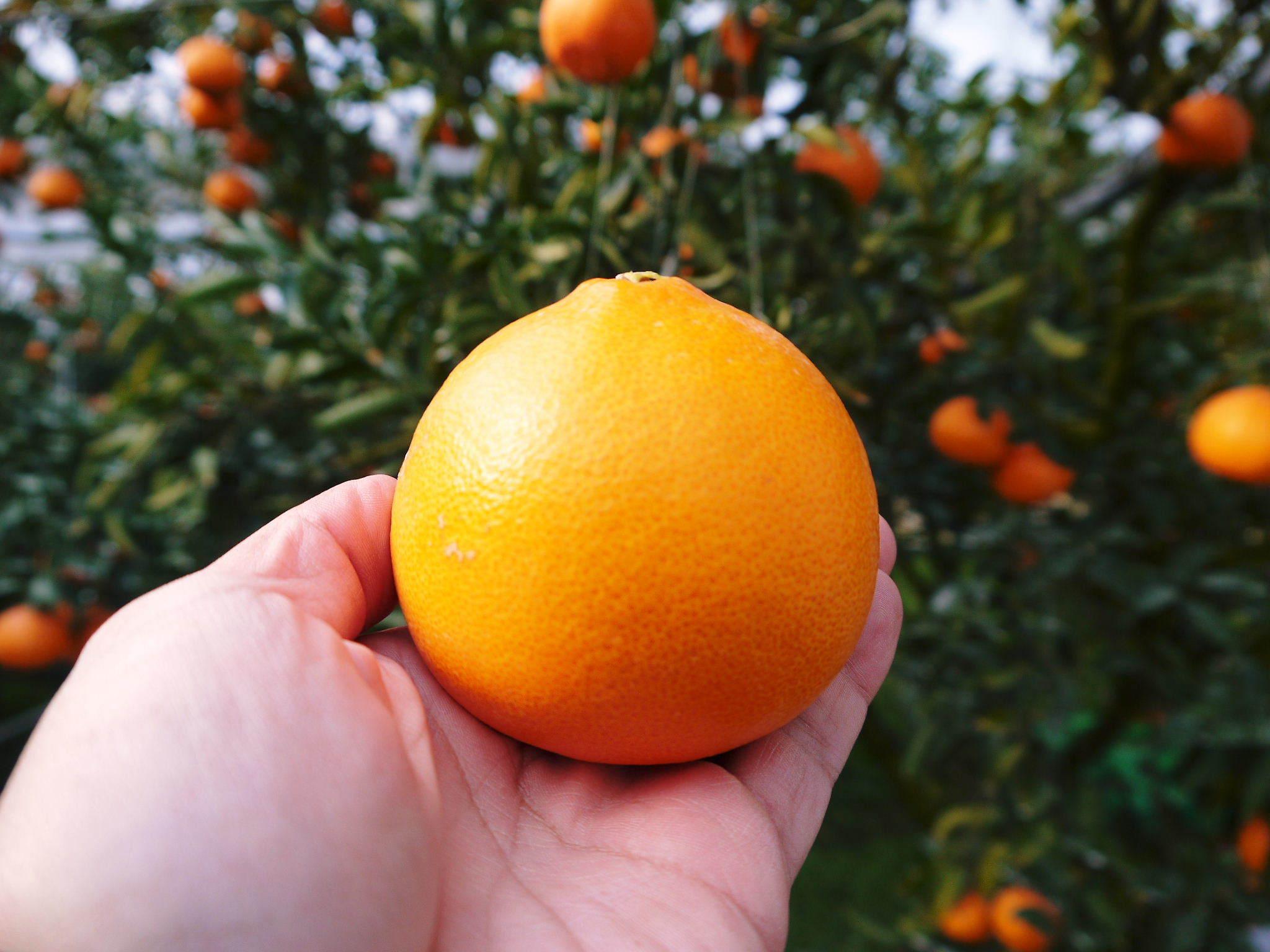 究極の柑橘『せとか』 令和2年の出荷スタート!収穫の様子を現地取材!(後編)_a0254656_19001043.jpg