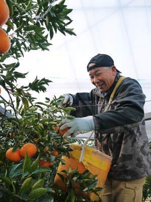究極の柑橘『せとか』 令和2年の出荷スタート!収穫の様子を現地取材!(後編)_a0254656_19035617.jpg