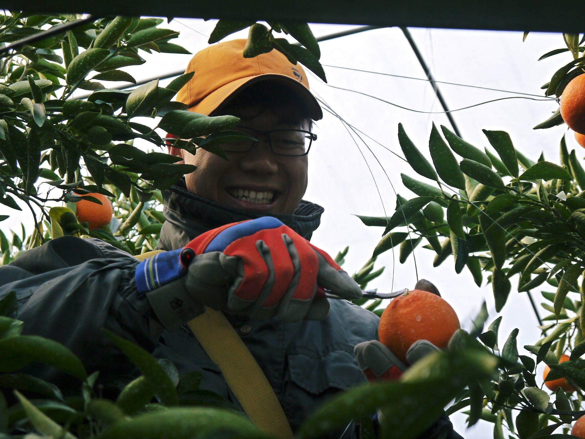 究極の柑橘『せとか』 令和2年の出荷スタート!収穫の様子を現地取材!(後編)_a0254656_19065551.jpg