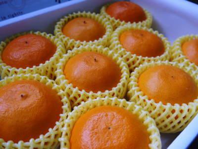究極の柑橘『せとか』 令和2年の出荷スタート!収穫の様子を現地取材!(後編)_a0254656_19204813.jpg