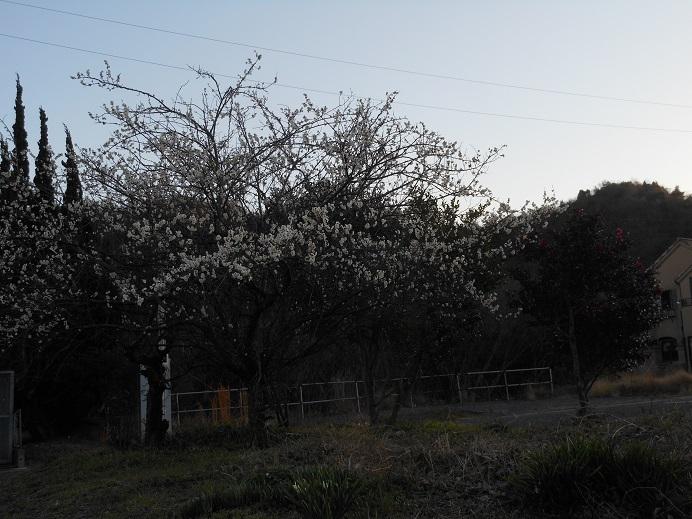 梅にウグイスでなくメジロ_e0175370_21551192.jpg