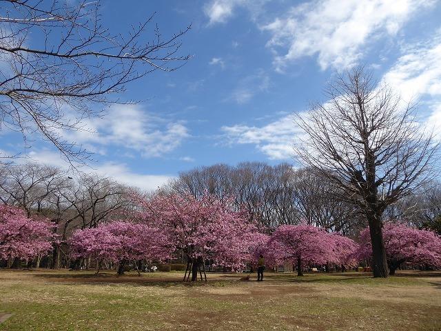 代々木公園の河津桜、きれいだったよ~♪ ミモザもね♪_b0287088_15425732.jpg