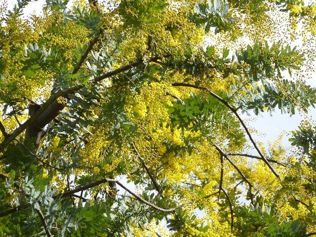 代々木公園の河津桜、きれいだったよ~♪ ミモザもね♪_b0287088_15454354.jpg