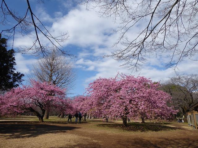 代々木公園の河津桜、きれいだったよ~♪ ミモザもね♪_b0287088_15464915.jpg