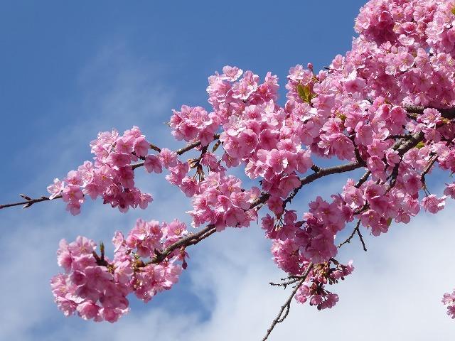 代々木公園の河津桜、きれいだったよ~♪ ミモザもね♪_b0287088_15471385.jpg