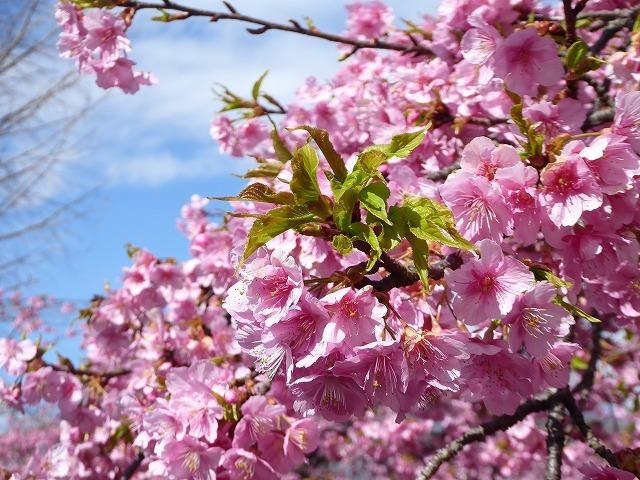 代々木公園の河津桜、きれいだったよ~♪ ミモザもね♪_b0287088_15473536.jpg