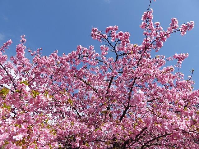 代々木公園の河津桜、きれいだったよ~♪ ミモザもね♪_b0287088_15480462.jpg