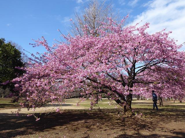 代々木公園の河津桜、きれいだったよ~♪ ミモザもね♪_b0287088_15483207.jpg