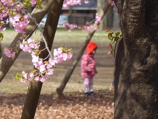 代々木公園の河津桜、きれいだったよ~♪ ミモザもね♪_b0287088_15485874.jpg