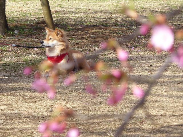 代々木公園の河津桜、きれいだったよ~♪ ミモザもね♪_b0287088_15492315.jpg
