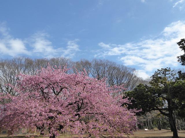 代々木公園の河津桜、きれいだったよ~♪ ミモザもね♪_b0287088_15494592.jpg