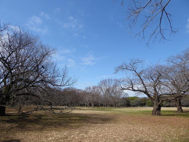 代々木公園の河津桜、きれいだったよ~♪ ミモザもね♪_b0287088_15501319.jpg