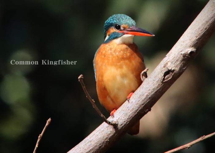 カワセミ:Common kingfisher_b0249597_05444683.jpg