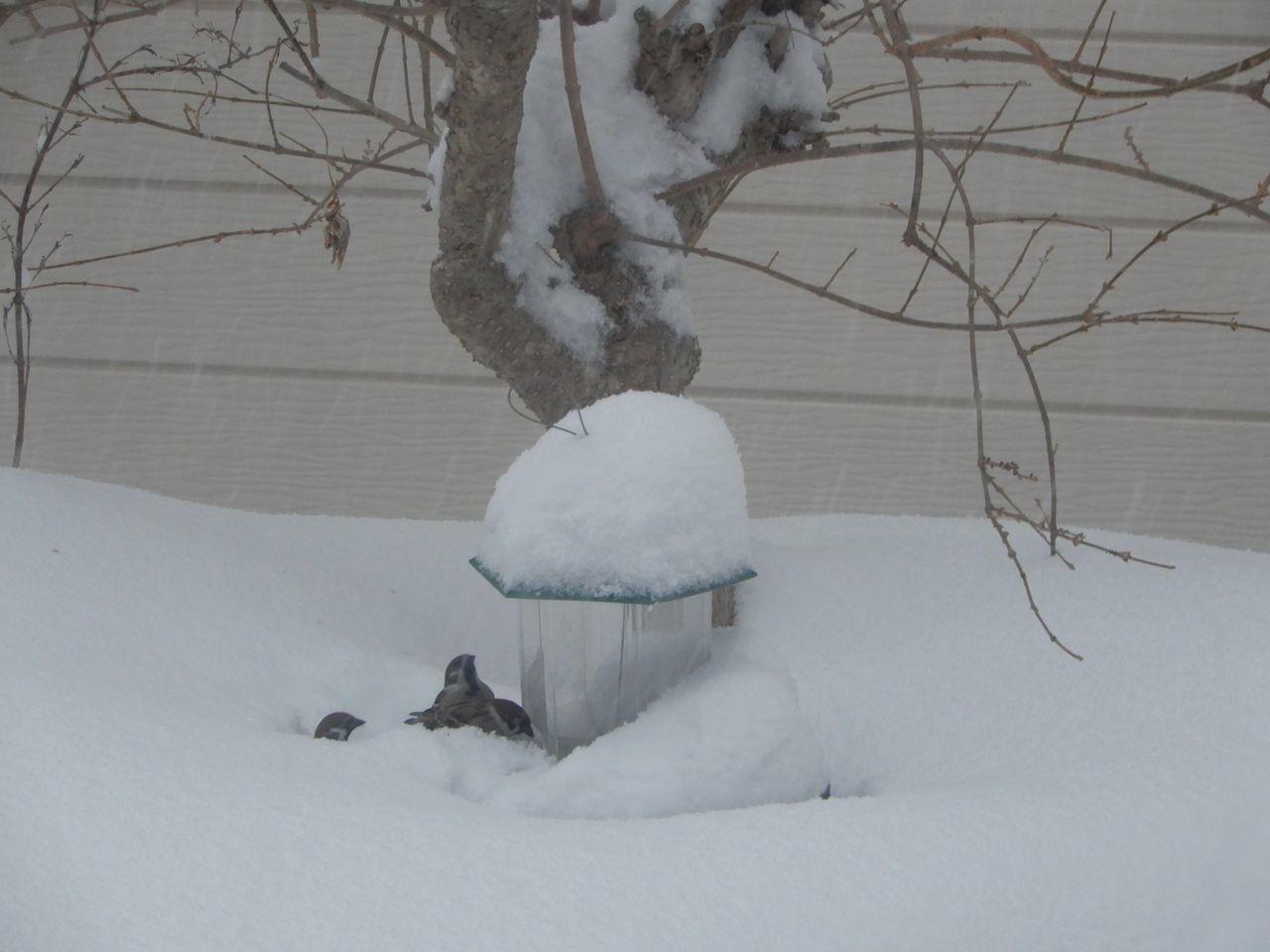 必死で雪を掘って餌を探すスズメ_c0025115_22023282.jpg