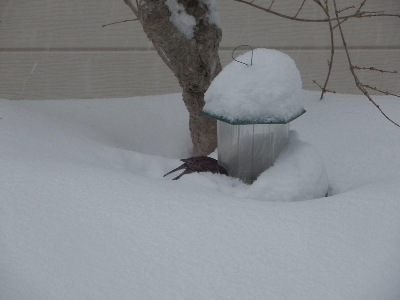 必死で雪を掘って餌を探すスズメ_c0025115_22035030.jpg