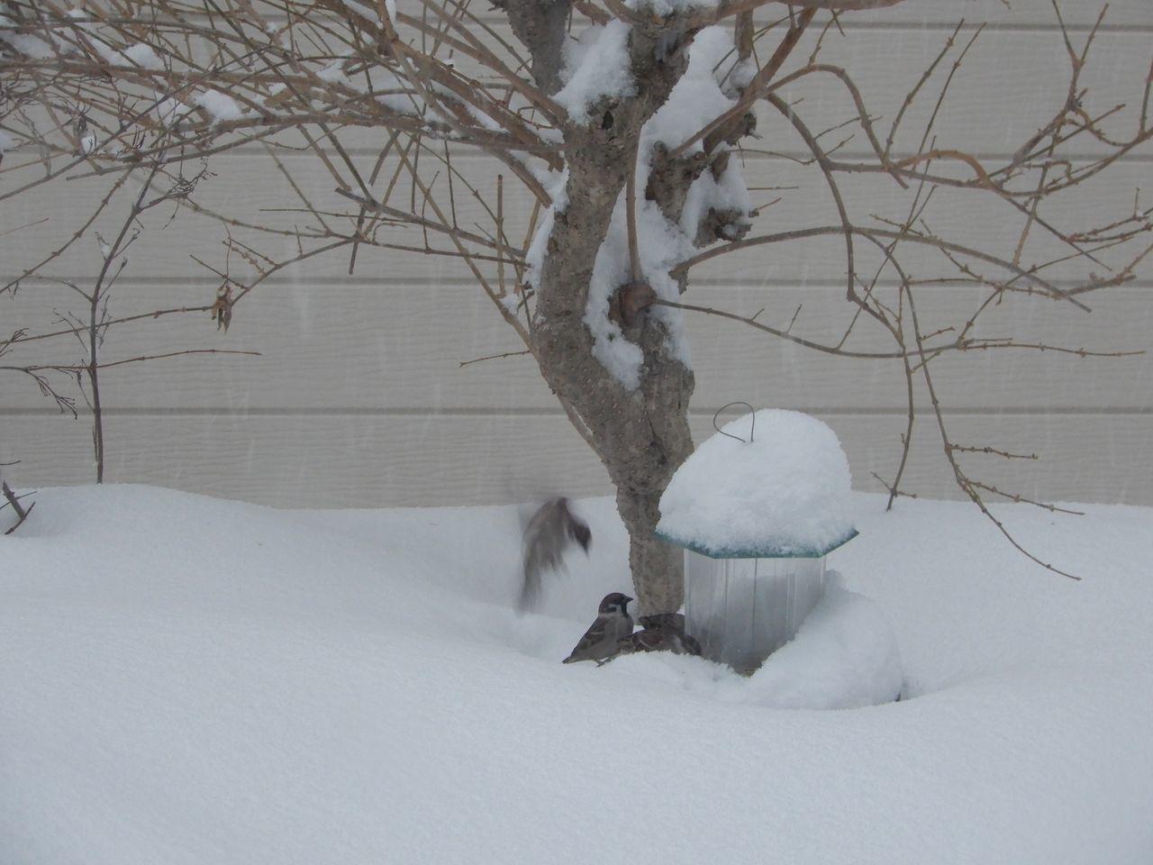必死で雪を掘って餌を探すスズメ_c0025115_22060942.jpg