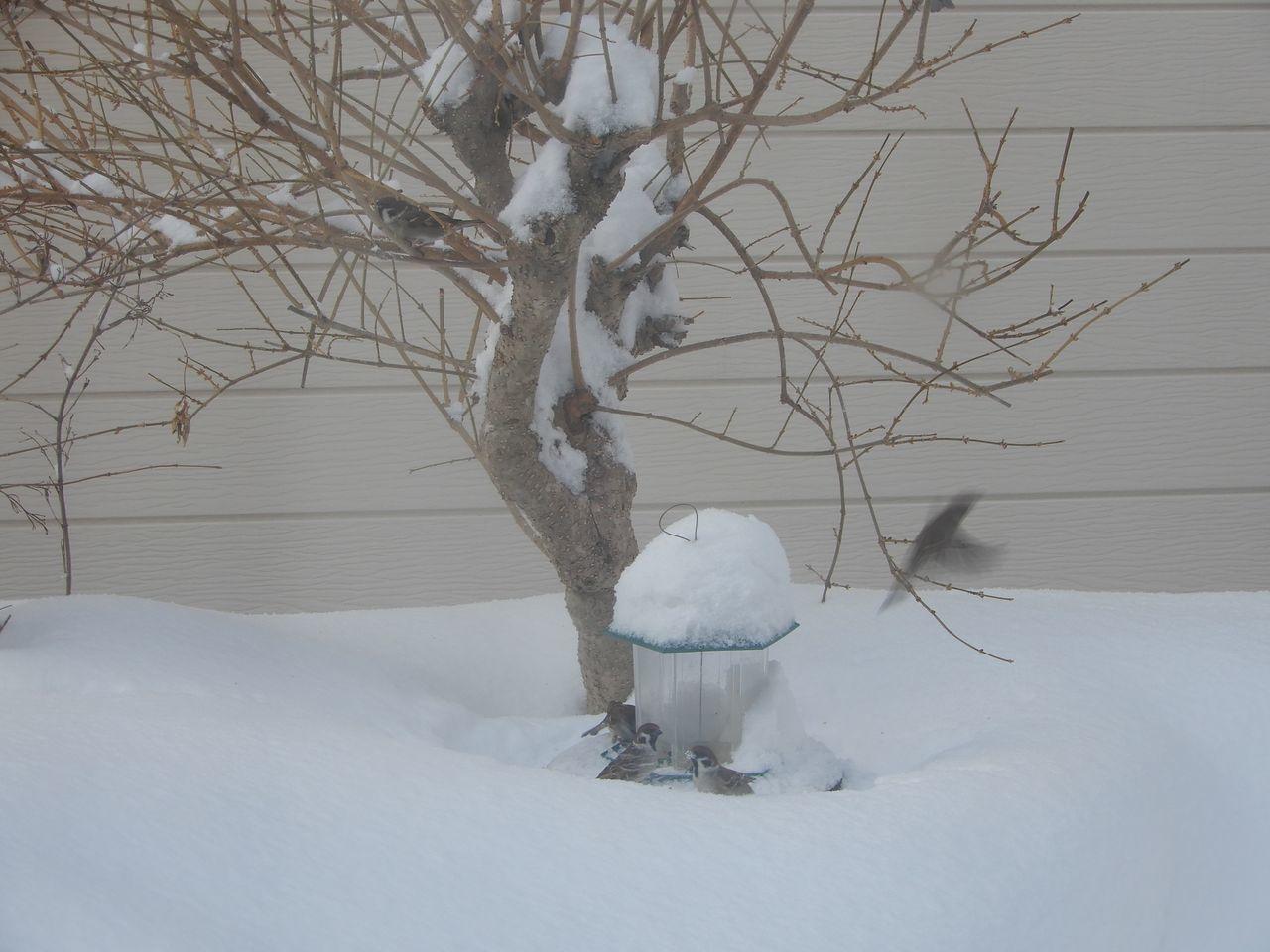 必死で雪を掘って餌を探すスズメ_c0025115_22071516.jpg