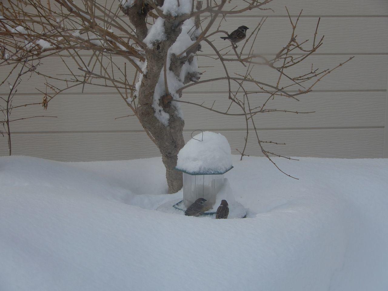 必死で雪を掘って餌を探すスズメ_c0025115_22081438.jpg
