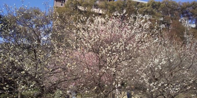 縮景園の梅が見頃です_e0094315_11363451.jpg