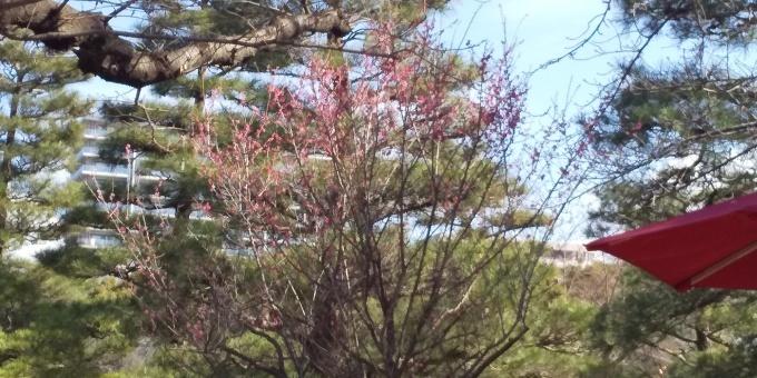 縮景園の梅が見頃です_e0094315_11364796.jpg