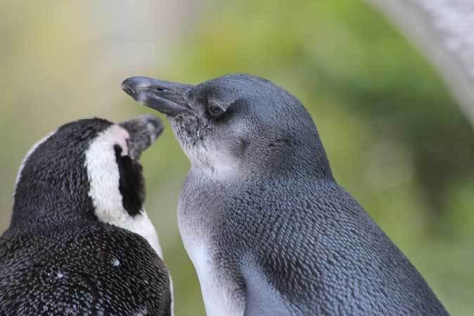ケープペンギンのヒナと西園へやって来たペッカリー三姉妹(上野動物園 March 2019)_b0355317_21481376.jpg