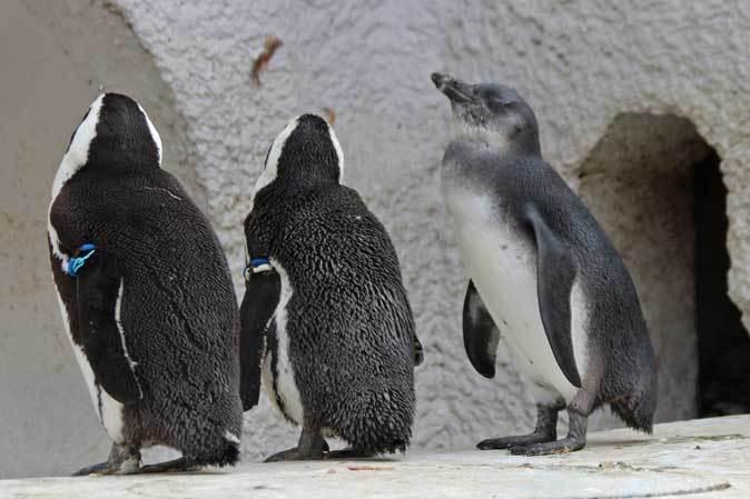 ケープペンギンのヒナと西園へやって来たペッカリー三姉妹(上野動物園 March 2019)_b0355317_21485013.jpg