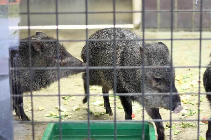 ケープペンギンのヒナと西園へやって来たペッカリー三姉妹(上野動物園 March 2019)_b0355317_21514437.jpg