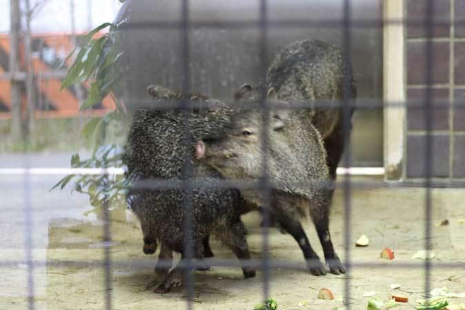 ケープペンギンのヒナと西園へやって来たペッカリー三姉妹(上野動物園 March 2019)_b0355317_21540418.jpg