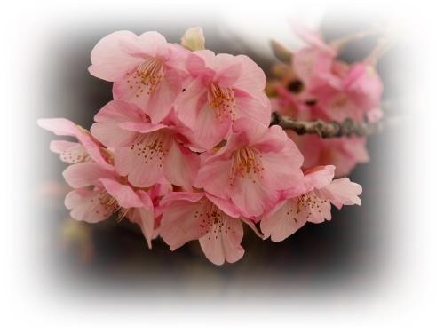 河津桜咲き初めし_c0026824_17131470.jpg