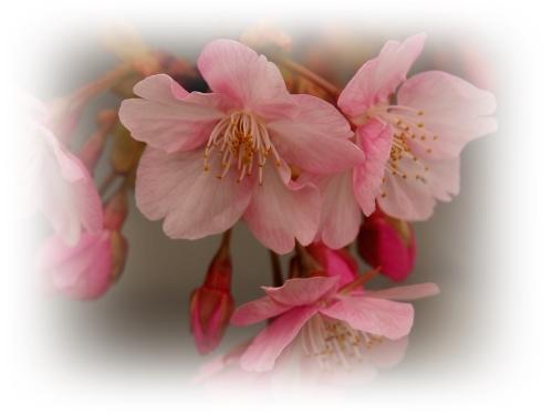 河津桜咲き初めし_c0026824_17133326.jpg