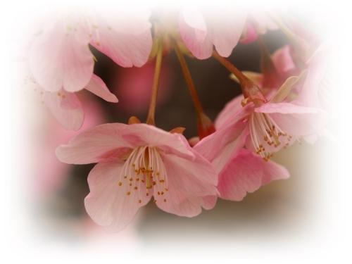 河津桜咲き初めし_c0026824_17135671.jpg